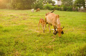 Cow on grass meadow — 图库照片