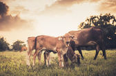 Cow on grass meadow vintage — Stock Photo