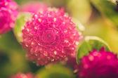 Globe Amaranth or Bachelor Button flower vintage color — Stock Photo