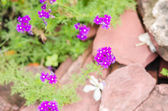 Violets flowers field — Stock Photo