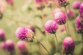Globe Amaranth or Bachelor Button flower vintage — Stock Photo