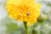 Marigolds or Tagetes erecta flower — Stock Photo
