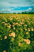 Marigolds or Tagetes erecta flower vintage — Foto de Stock
