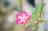 Desert Rose or Impala Lily or Mock Azalea flower — Stock Photo