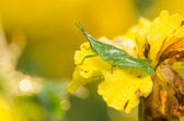 Marigolds or Tagetes erecta flower and grasshopper — Stock Photo