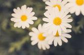 Vita daisy eller leucanthemum vulgare — Stockfoto