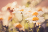White daisy or Leucanthemum vulgare and water drops — Stock Photo