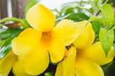 Golden Trumpet flower or Allamanda cathartica — Stock Photo