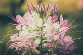 Cleome hassleriana or spider flower or spider plant — Foto Stock