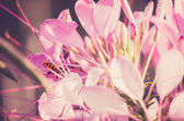 Cleome hassleriana or spider flower or spider plant — Stock Photo