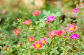 Common Purslane or Verdolaga or Pigweed or Little Hogweed or Pus — Stock Photo