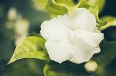 Vintage de flor branca — Fotografia Stock