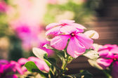 Catharanthus roseus or Periwinkle vintage — Stock Photo