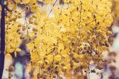 Gyllene dusch eller cassia fistula blomma vintage — Stockfoto