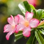 Desert Rose or Impala Lily or Mock Azalea flower — Stock Photo #50840759