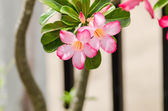 Desert Rose or Impala Lily or Mock Azalea flower — Stockfoto