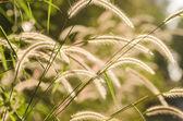 Dwarf Foxtail Grass  — Стоковое фото