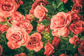 Red rose flower vintage — Stock Photo