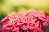 Ixora coccinea flowers vintage — 图库照片