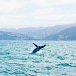 büyük kambur balina suyun dışında atlama — Stok fotoğraf