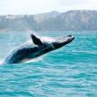 kambur balina suyun dışında atlama — Stok fotoğraf