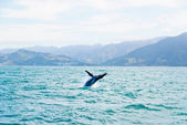 Massive Humpback whale jumping out of water — Stok fotoğraf
