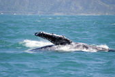 Massive humpback whale showing its fin out of water — Photo