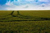 小麦字段和农村风光 — 图库照片