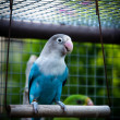 Stock Photo: Parrot Agapornis fischeri (Fischer's Lovebird)