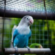 Parrot Agapornis fischeri (Fischer's Lovebird) — Stock Photo