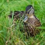 vackra anka på det gröna gräset — Stockfoto