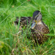 Beautiful Duck on the green grass — Stock Photo