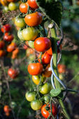 Tomatoes plant at vegetables bed — Stock Photo