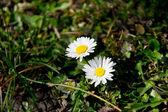 White daisies - spring flowers — Stock Photo