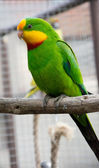 Port Lincoln Parrot - Australian Ringneck  — Stock Photo