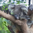 Curious koala — Stock Photo #16759287