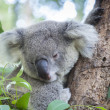 Curious koala - Stock Photo