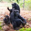 The family of a chimpanzee — Stock Photo