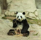 Panda — Stock fotografie