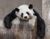 Panda úsměv — Stock fotografie