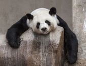 Panda smile — Stock Photo