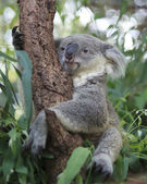 Curious koala — Stock Photo