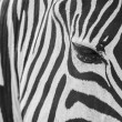 Zebra skin texture. - Stock Photo