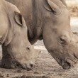 Family of rhino - Stock Photo