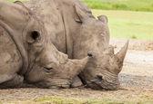 Family of rhino — Stock Photo