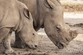 Family of rhino — Stock Photo