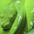 Green snake curled up on a branch - Stock Photo