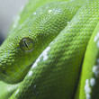 Green python snake — Stock Photo