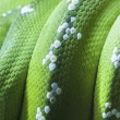 Green python snake skin — Stock Photo
