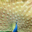 Close up of peacock — Zdjęcie stockowe